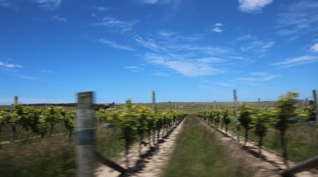 NZ, tretjič: Sonce poje grozdju (foto: Matevž Hribar)